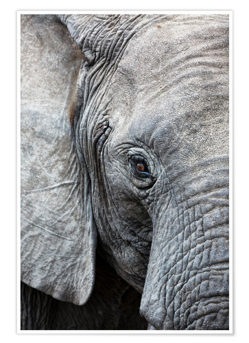 Póster Eye of the African elephant