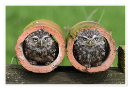 Póster Little owls