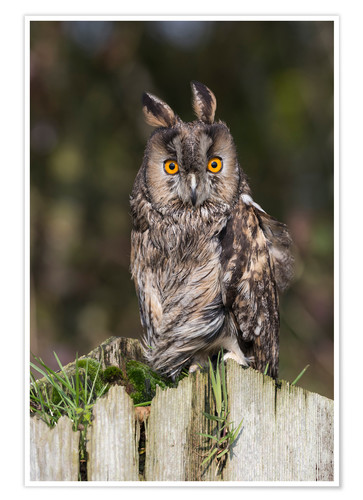 Póster Long-eared owl