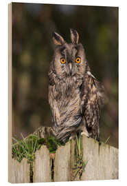 Madera  Long-eared owl