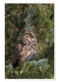 Póster Long-eared owl looks towards the sun