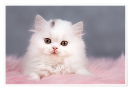 Póster British longhair cat baby in white