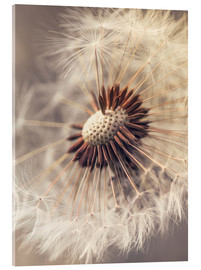 Metacrilato  Dandelion closeup nature - Julia Delgado