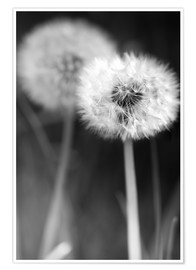 Póster Dandelions black and white