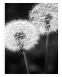 Póster Dandelion couple black and white