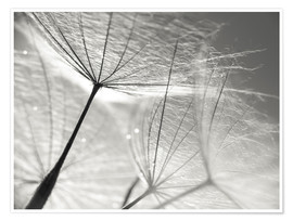 Póster  Dandelion Seeds Black and White - Julia Delgado