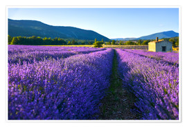 Póster Lavender field with hut