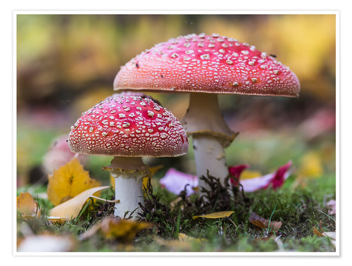 Póster Toadstools in autumn leaves