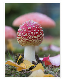 Póster Toadstool in autumn